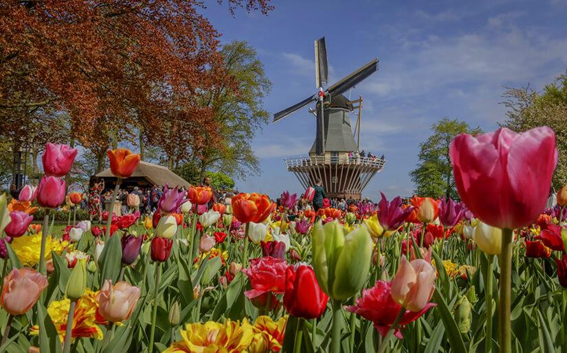 עכשיו באמסטרדם: עונת הצבעונים נפתחה והעיר פורחת בשלל צבעים